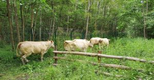 Vaches (4)