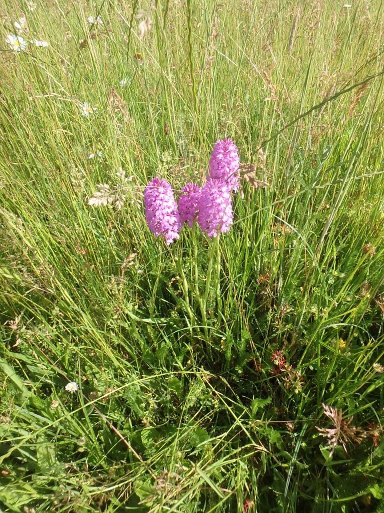 gestion différenciée orchidée sauvage